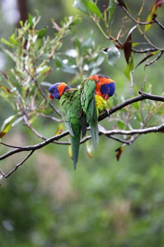 Bright coloured Rainbow Lorikeets in a tree