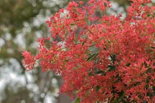 Bright red Christmas Bush flowers - native NSW bush that turns from white to red at around Christmas
