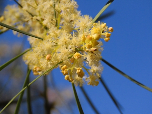 Bright yellow acacia flowers and buds in a clear blue sky