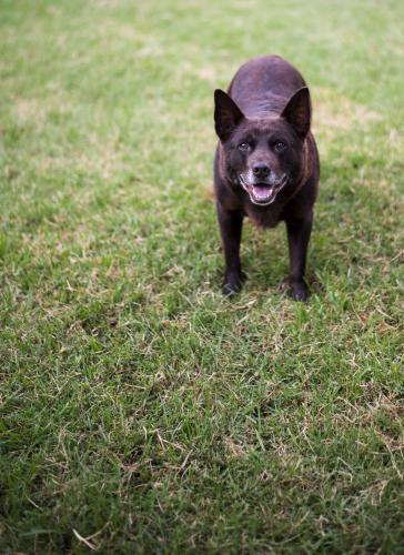 Brown Australian Kelpie dog standing on green grass