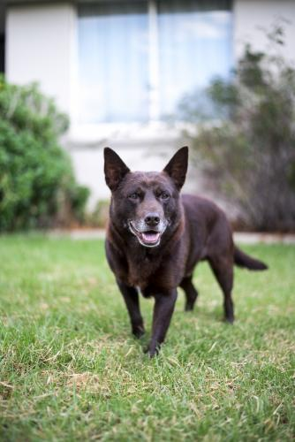 Brown Australian Kelpie dog with grey chin on lawn in front of house