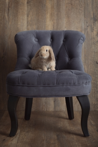 Brown Baby Rabbit Sitting on a Grey Chair