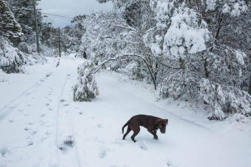 Brown dog on snow-covered road with trees and electricity poles