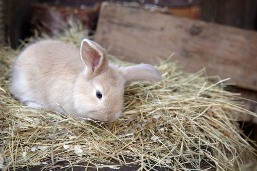Brown fluffy bunny on hay