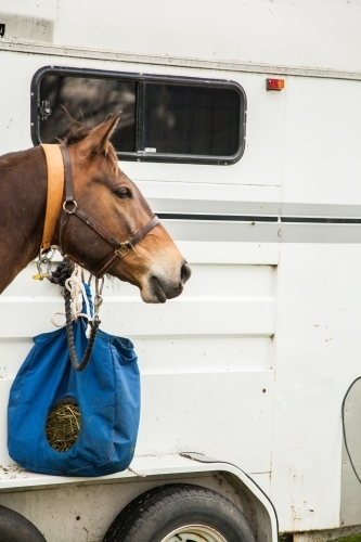 Brown horse with feed bag beside horse trailer
