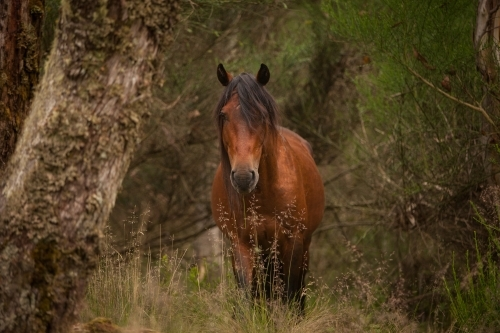 Brumby horse among trees front on