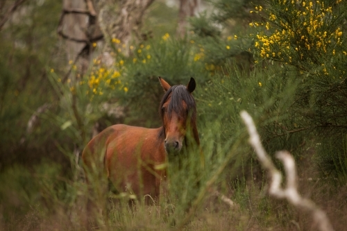 Brumby side on among bushes