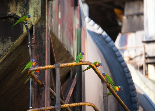Rainbow Lorikeets standing on a railing at a sugar refinery