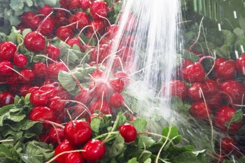 Bunches of radish are washed before being sold at the wholesale market