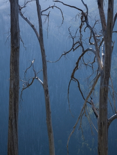 Burnt Alpine Ash trees, Victorian Alps