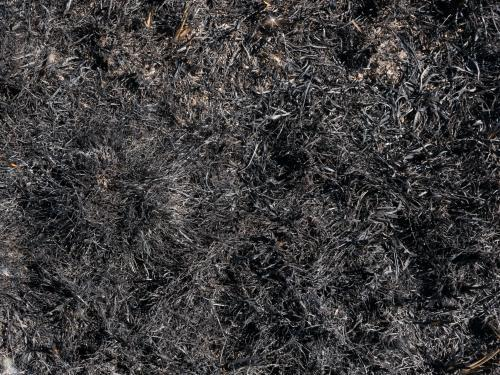 Burnt grass after burning off in a paddock