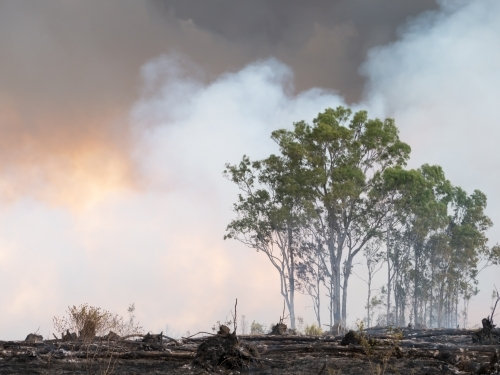 Burnt landscape with gum trees and billowing smoke
