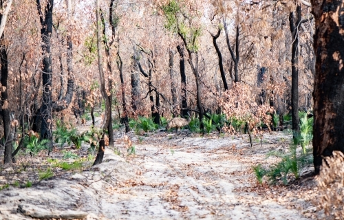 Burnt out area from bushfires with emu.
