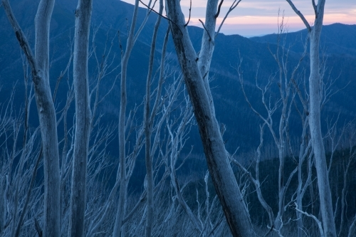 Burnt tree skeletons against blue dusk mountainside