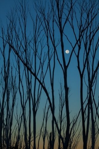 Burnt tree skeletons against evening sky with moon