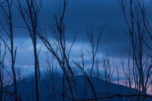 Burnt tree skeletons and mountain against blue evening sky