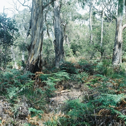 Bushland of ferns and gum trees