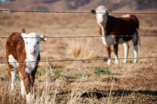 Calf looking through a barbed wire fence in a dry paddock