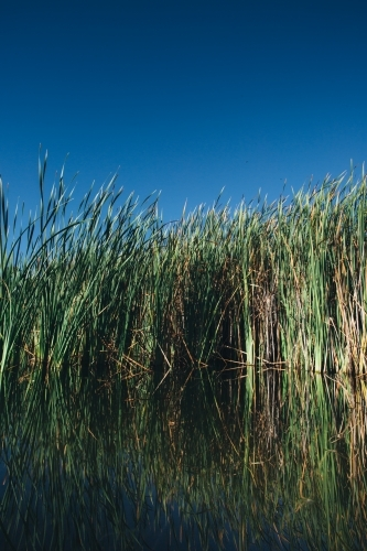 Calm water and river reeds on a clear blue sky day