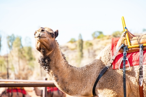 Camel saddled up and ready to take people on a camel riding tour