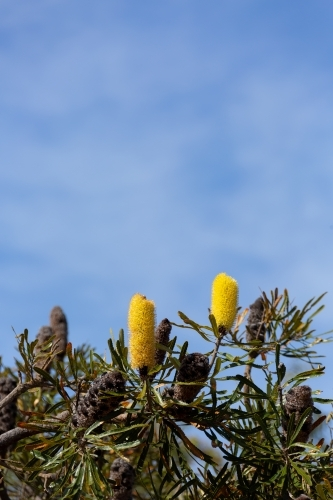 Candlestick banksia flowers tree with blue sky background