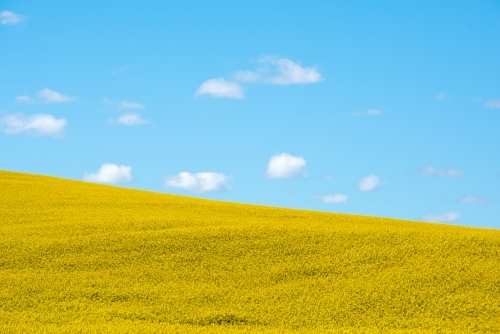 Canola field - horizontal