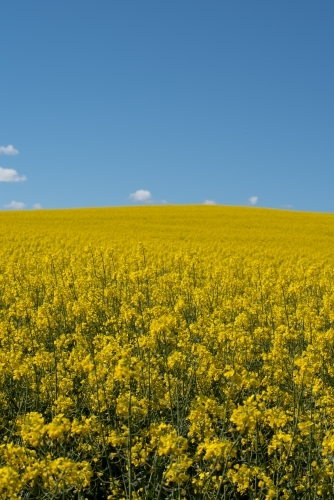 Canola field - vertical