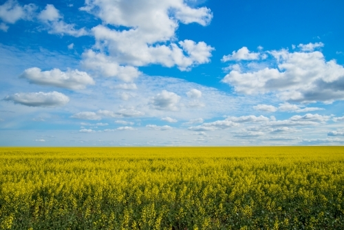 Canola field with blue sky