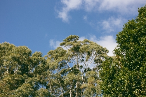 Canopy of trees with green foliage and blue sky with white clouds