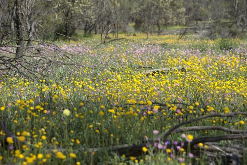 Carpet of everlasting wildflowers in Australian bush