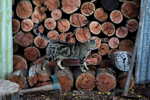 Cat standing on cut wood in shed