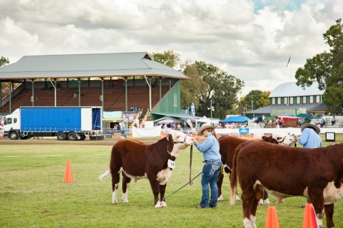 Cattle lined up in arena for judging at agricultural show