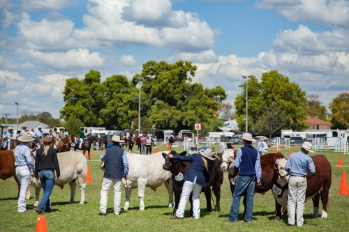 Cattle lined up with owners for judging at agricultural show