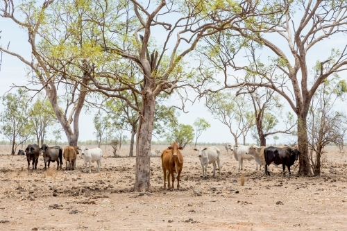 Cows on cattle station in outback north Queensland