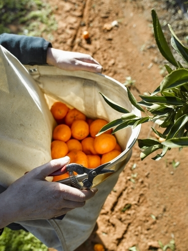 Fruit picker with bag of mandarins and pruner