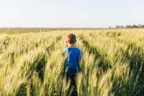 Child walking through paddock of wheat on farm