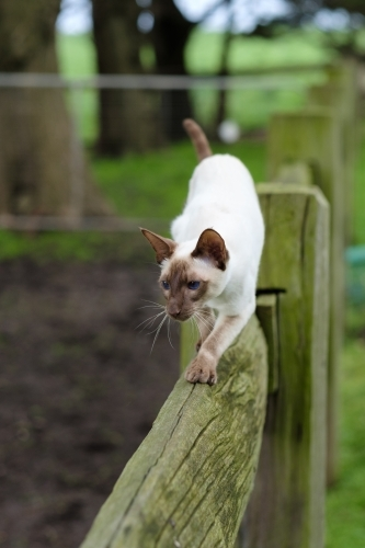 Chocolate Point Siamese outdoors