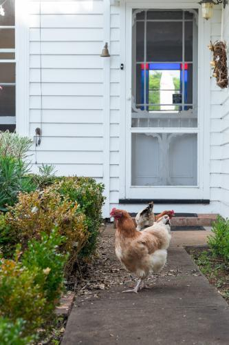 Chooks free-ranging in garden
