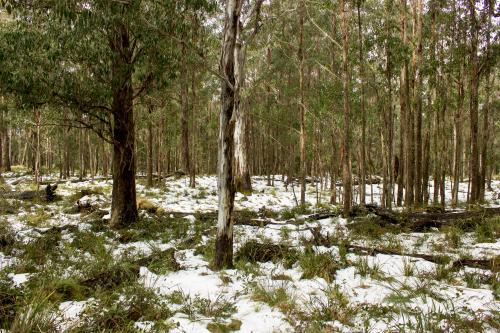 Snowfall among gum trees and mountain grass