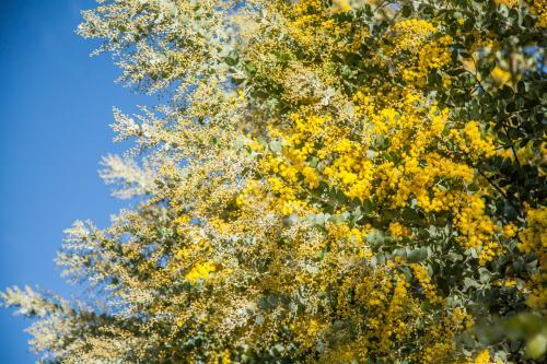 Beautiful blossoms of golden wattle against blue sky