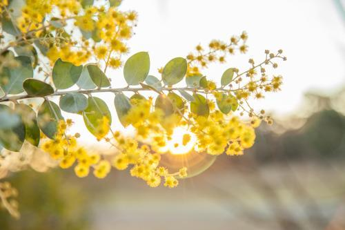 Beautiful blossoms of golden wattle in the afternoon sunlight