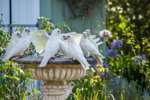 Group of Little Corellas drinking from fountain in garden