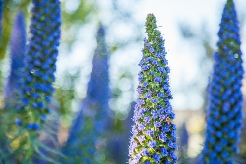 Afternoon sunlight shining on purple flowers of an echium plant