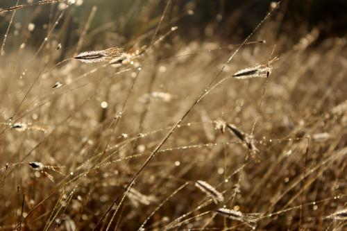 Brown dew covered grass sparkling in the morning
