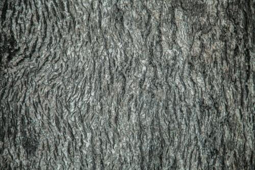 Detail of the bark on the trunk of a grey box tree