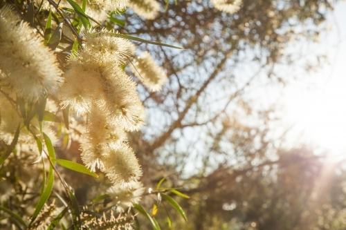 Small pale yellow bottlebrush flowers with rays of sunlight shining through