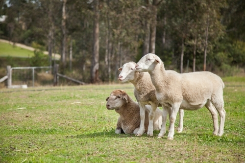 Dorper sheep standing together in a paddock in the sunlight