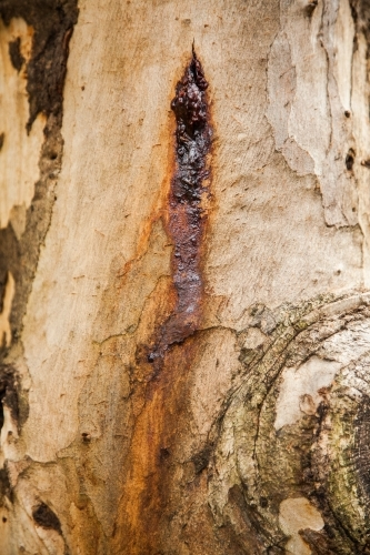 Sap on rough textured bark and trunk of a gum tree