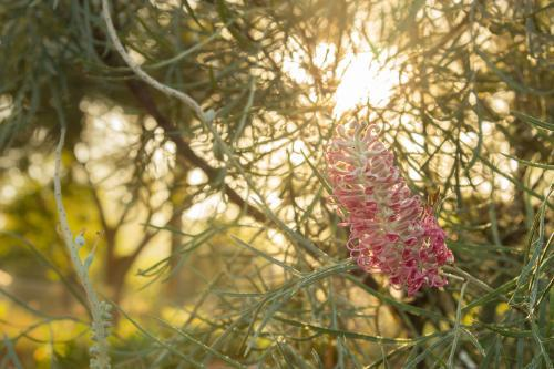 Flowering grevillea with morning light shining through it