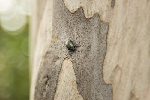 Beetle crawling on a spotted gum